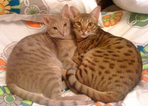 Wikimedia commons - lavender & chocolate ocicats