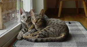 two ocicats - sourced from Wikimedia Commons